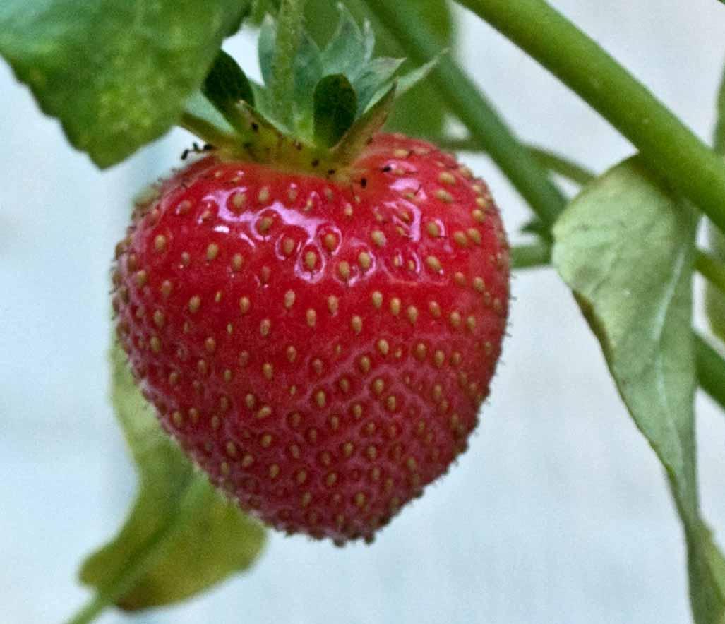 how to grow climbing strawberries