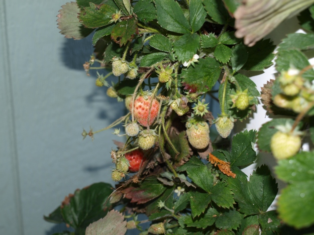 It is Halloween and we still have strawberries to harvest on our Tower Garden.
