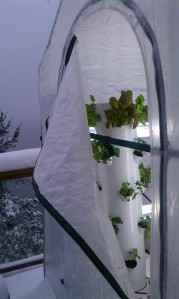 Snow outside and thriving  Tower Garden plants inside.