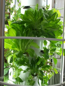 What beauty!  So hard to  keep this Tower Garden for display instead of eating it!