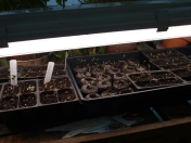 Seedlings in my Greenhouse wated with Tower Tonic