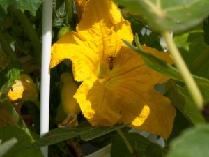 Bee pollinating squash blossom on my Tower Garden.