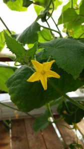 Cucumber blossom on my Tower Garden.