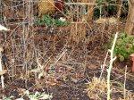 Plant meterial decomposing in my garden beds.
