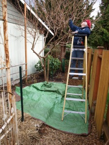 Place trap under area to prune to collect branches