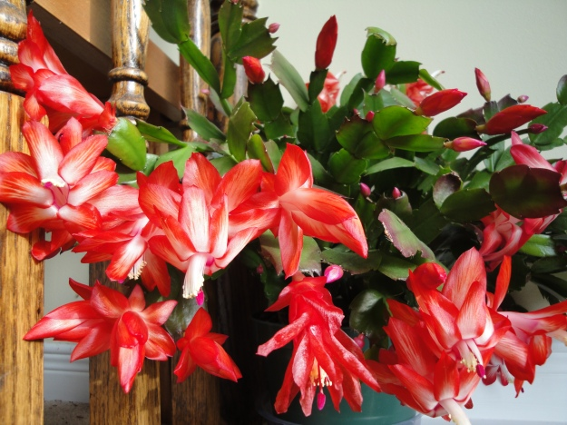Christmas Cactus in full bloom photo.