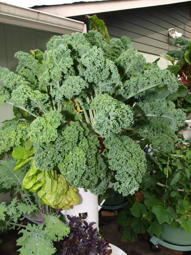 Photo of kale growing on our Tower Garden.
