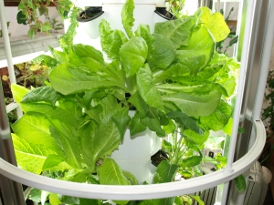 Photo of head of lettuce growing in Tower Garden.