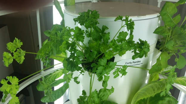 Photo of Curly Parsley plant two weeks after being planted into aeroponic vertical garden.