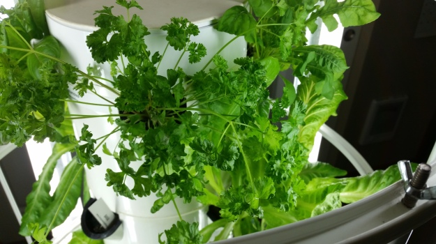 Photo of Curly Parsley plant three weeks after being planted into aeroponic vertical garden.